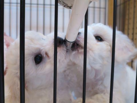 ビションフリーゼフントヒュッテビションフリーゼ子犬こいぬ父チャンピオン犬チャンピオン血統ビション子犬おんなのこ東京ビションフリーゼ画像性格かわいい_126.jpg
