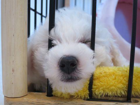 ビションフリーゼフントヒュッテビションフリーゼ子犬こいぬ父チャンピオン犬チャンピオン血統ビション子犬おんなのこ東京ビションフリーゼ画像性格かわいい_137.jpg