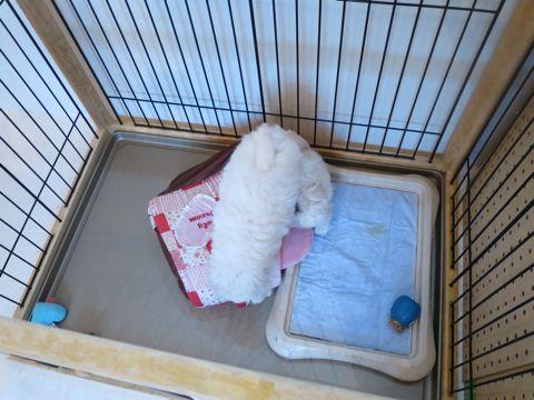 ビションフリーゼフントヒュッテビションフリーゼ子犬こいぬ父チャンピオン犬チャンピオン血統ビション子犬おんなのこ東京ビションフリーゼ画像性格かわいい_145.jpg