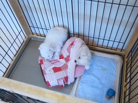 ビションフリーゼフントヒュッテビションフリーゼ子犬こいぬ父チャンピオン犬チャンピオン血統ビション子犬おんなのこ東京ビションフリーゼ画像性格かわいい_146.jpg