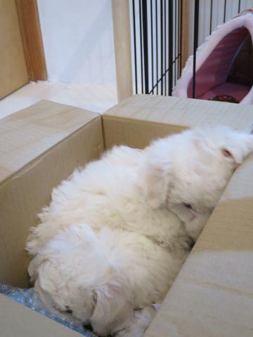 ビションフリーゼフントヒュッテビションフリーゼ子犬こいぬ父チャンピオン犬チャンピオン血統ビション子犬おんなのこ東京ビションフリーゼ画像性格かわいい_158.jpg