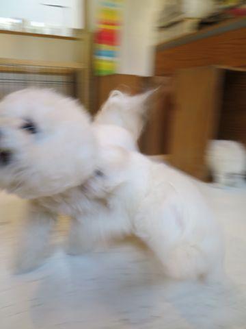 ビションフリーゼフントヒュッテビションフリーゼ子犬こいぬ父チャンピオン犬チャンピオン血統ビション子犬おんなのこ東京ビションフリーゼ画像性格かわいい_162.jpg