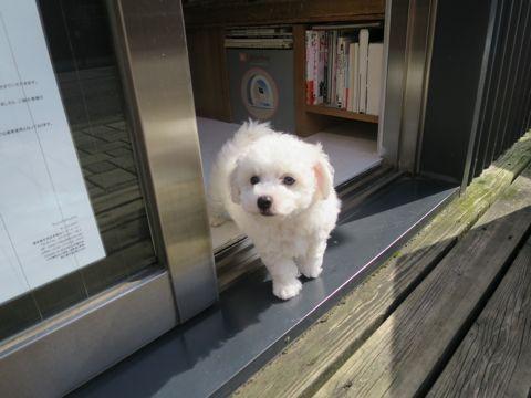 ビションフリーゼフントヒュッテビションフリーゼ子犬こいぬ父チャンピオン犬チャンピオン血統ビション子犬おんなのこ東京ビションフリーゼ画像性格かわいい_170.jpg