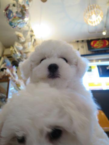 ビションフリーゼフントヒュッテビションフリーゼ子犬こいぬ父チャンピオン犬チャンピオン血統ビション子犬おんなのこ東京ビションフリーゼ画像性格かわいい_200.jpg