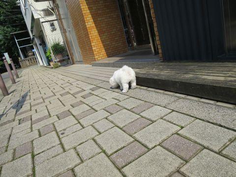 ビションフリーゼフントヒュッテビションフリーゼ子犬こいぬ父チャンピオン犬チャンピオン血統ビション子犬おんなのこ東京ビションフリーゼ画像性格かわいい_223.jpg