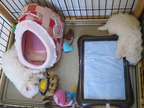 ビションフリーゼフントヒュッテビションフリーゼ子犬こいぬ父チャンピオン犬チャンピオン血統ビション子犬おんなのこ東京ビションフリーゼ画像性格かわいい_264.jpg