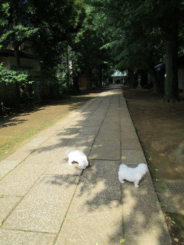 ビションフリーゼフントヒュッテビションフリーゼ子犬こいぬ父チャンピオン犬チャンピオン血統ビション子犬おんなのこ東京ビションフリーゼ画像性格かわいい_274.jpg