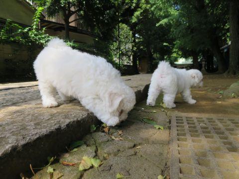 ビションフリーゼフントヒュッテビションフリーゼ子犬こいぬ父チャンピオン犬チャンピオン血統ビション子犬おんなのこ東京ビションフリーゼ画像性格かわいい_275.jpg
