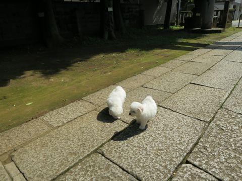 ビションフリーゼフントヒュッテビションフリーゼ子犬こいぬ父チャンピオン犬チャンピオン血統ビション子犬おんなのこ東京ビションフリーゼ画像性格かわいい_281.jpg