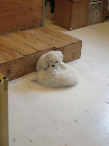 ビションフリーゼフントヒュッテビションフリーゼ子犬こいぬ父チャンピオン犬チャンピオン血統ビション子犬おんなのこ東京ビションフリーゼ画像性格かわいい_299.jpg