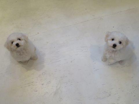 ビションフリーゼフントヒュッテビションフリーゼ子犬こいぬ父チャンピオン犬チャンピオン血統ビション子犬おんなのこ東京ビションフリーゼ画像性格かわいい_323.jpg