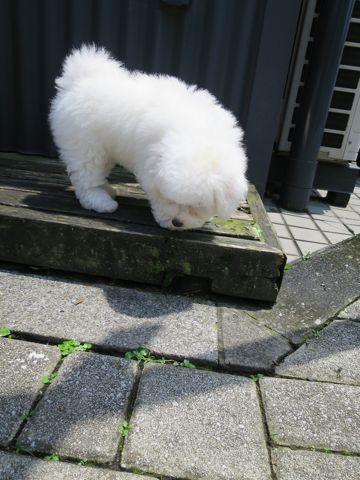 ビションフリーゼフントヒュッテビションフリーゼ子犬こいぬ父チャンピオン犬チャンピオン血統ビション子犬おんなのこ東京ビションフリーゼ画像性格かわいい_348.jpg