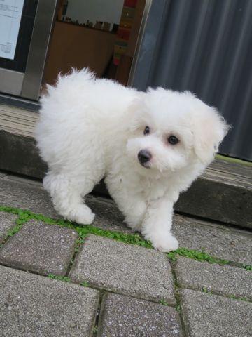ビションフリーゼフントヒュッテビションフリーゼ子犬こいぬ父チャンピオン犬チャンピオン血統ビション子犬おんなのこ東京ビションフリーゼ画像性格かわいい_363.jpg