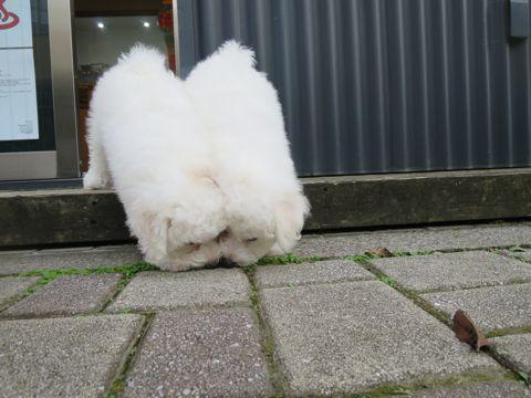 ビションフリーゼフントヒュッテビションフリーゼ子犬こいぬ父チャンピオン犬チャンピオン血統ビション子犬おんなのこ東京ビションフリーゼ画像性格かわいい_364.jpg