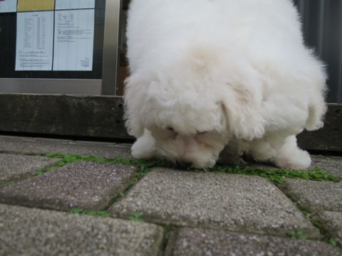 ビションフリーゼフントヒュッテビションフリーゼ子犬こいぬ父チャンピオン犬チャンピオン血統ビション子犬おんなのこ東京ビションフリーゼ画像性格かわいい_365.jpg