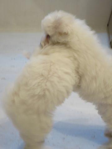 ビションフリーゼフントヒュッテビションフリーゼ子犬こいぬ父チャンピオン犬チャンピオン血統ビション子犬おんなのこ東京ビションフリーゼ画像性格かわいい_371.jpg