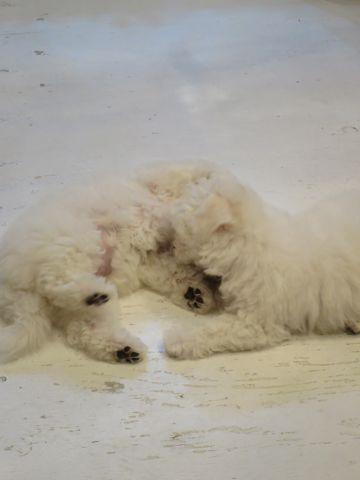 ビションフリーゼフントヒュッテビションフリーゼ子犬こいぬ父チャンピオン犬チャンピオン血統ビション子犬おんなのこ東京ビションフリーゼ画像性格かわいい_378.jpg