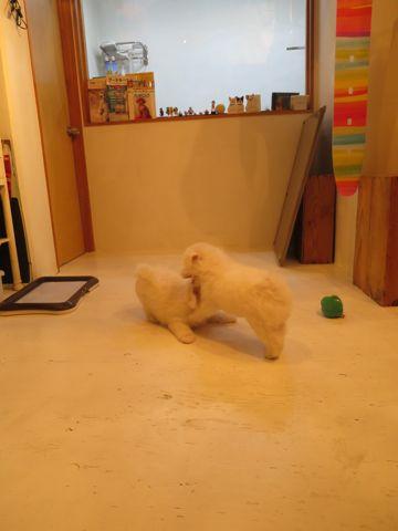 ビションフリーゼフントヒュッテビションフリーゼ子犬こいぬ父チャンピオン犬チャンピオン血統ビション子犬おんなのこ東京ビションフリーゼ画像性格かわいい_382.jpg