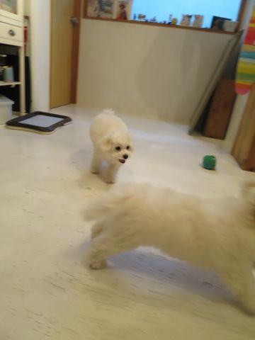 ビションフリーゼフントヒュッテビションフリーゼ子犬こいぬ父チャンピオン犬チャンピオン血統ビション子犬おんなのこ東京ビションフリーゼ画像性格かわいい_385.jpg
