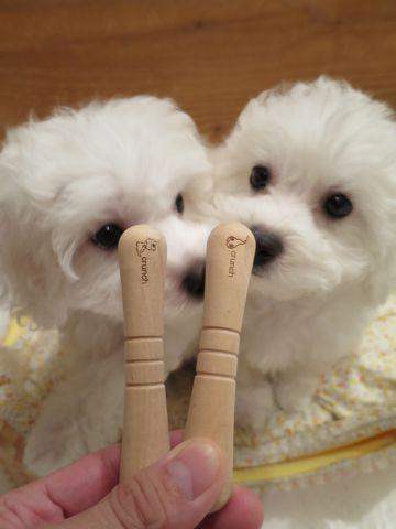 ビションフリーゼフントヒュッテビションフリーゼ子犬こいぬ父チャンピオン犬チャンピオン血統ビション子犬おんなのこ東京ビションフリーゼ画像性格かわいい_392.jpg