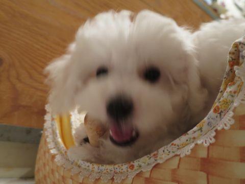 ビションフリーゼフントヒュッテビションフリーゼ子犬こいぬ父チャンピオン犬チャンピオン血統ビション子犬おんなのこ東京ビションフリーゼ画像性格かわいい_401.jpg