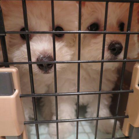 ビションフリーゼフントヒュッテビションフリーゼ子犬こいぬ父チャンピオン犬チャンピオン血統ビション子犬おんなのこ東京ビションフリーゼ画像性格かわいい_406.jpg