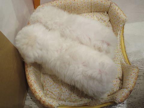 ビションフリーゼフントヒュッテビションフリーゼ子犬こいぬ父チャンピオン犬チャンピオン血統ビション子犬おんなのこ東京ビションフリーゼ画像性格かわいい_409.jpg