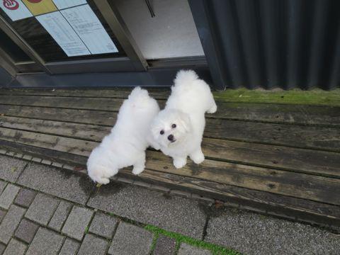 ビションフリーゼフントヒュッテビションフリーゼ子犬こいぬ父チャンピオン犬チャンピオン血統ビション子犬おんなのこ東京ビションフリーゼ画像性格かわいい_419.jpg