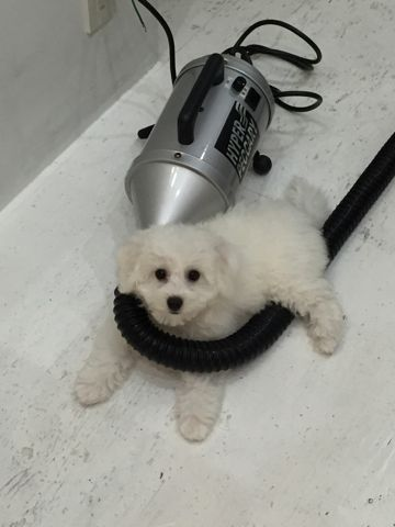 ビションフリーゼフントヒュッテビションフリーゼ子犬こいぬ父チャンピオン犬チャンピオン血統ビション子犬おんなのこ東京ビションフリーゼ画像性格かわいい_422.jpg