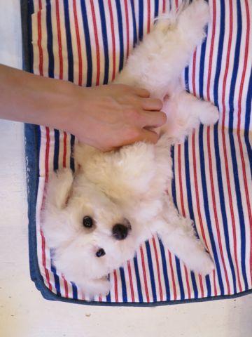 ビションフリーゼフントヒュッテビションフリーゼ子犬こいぬ父チャンピオン犬チャンピオン血統ビション子犬おんなのこ東京ビションフリーゼ画像性格かわいい_451.jpg