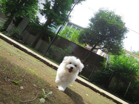 ビションフリーゼフントヒュッテビションフリーゼ子犬こいぬ父チャンピオン犬チャンピオン血統ビション子犬おんなのこ東京ビションフリーゼ画像性格かわいい_457.jpg