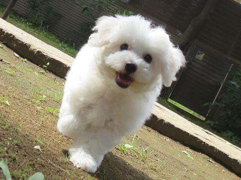 ビションフリーゼフントヒュッテビションフリーゼ子犬こいぬ父チャンピオン犬チャンピオン血統ビション子犬おんなのこ東京ビションフリーゼ画像性格かわいい_458.jpg