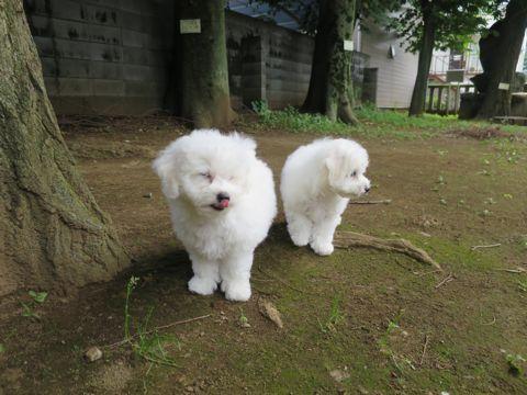 ビションフリーゼフントヒュッテビションフリーゼ子犬こいぬ父チャンピオン犬チャンピオン血統ビション子犬おんなのこ東京ビションフリーゼ画像性格かわいい_460.jpg