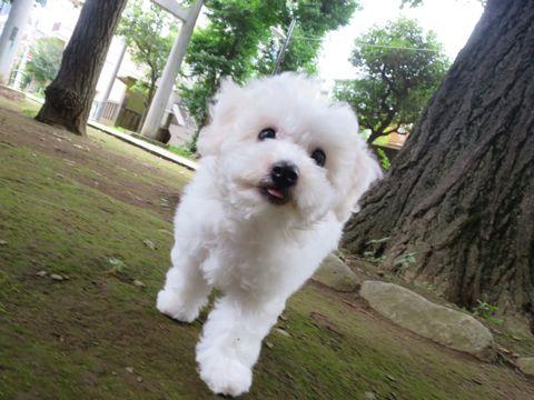ビションフリーゼフントヒュッテビションフリーゼ子犬こいぬ父チャンピオン犬チャンピオン血統ビション子犬おんなのこ東京ビションフリーゼ画像性格かわいい_466.jpg