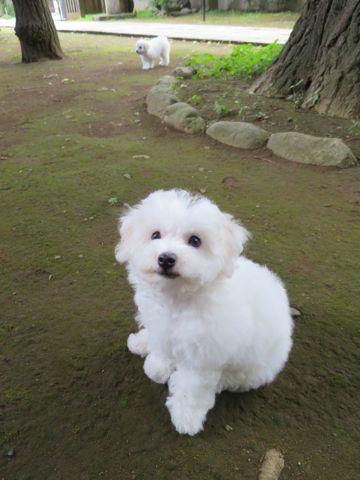 ビションフリーゼフントヒュッテビションフリーゼ子犬こいぬ父チャンピオン犬チャンピオン血統ビション子犬おんなのこ東京ビションフリーゼ画像性格かわいい_471.jpg
