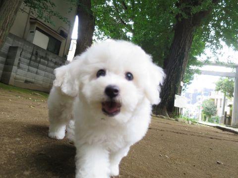 ビションフリーゼフントヒュッテビションフリーゼ子犬こいぬ父チャンピオン犬チャンピオン血統ビション子犬おんなのこ東京ビションフリーゼ画像性格かわいい_473.jpg