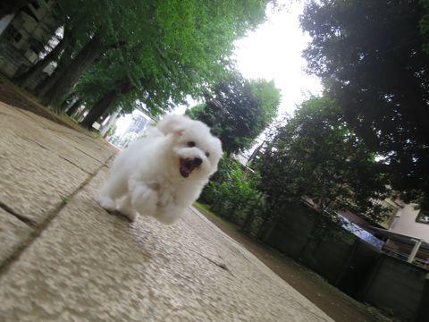 ビションフリーゼフントヒュッテビションフリーゼ子犬こいぬ父チャンピオン犬チャンピオン血統ビション子犬おんなのこ東京ビションフリーゼ画像性格かわいい_480.jpg