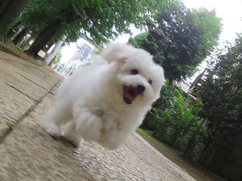 ビションフリーゼフントヒュッテビションフリーゼ子犬こいぬ父チャンピオン犬チャンピオン血統ビション子犬おんなのこ東京ビションフリーゼ画像性格かわいい_481.jpg