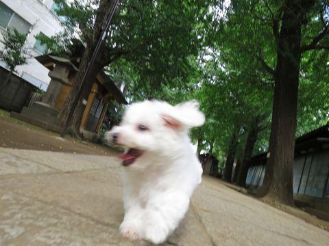 ビションフリーゼフントヒュッテビションフリーゼ子犬こいぬ父チャンピオン犬チャンピオン血統ビション子犬おんなのこ東京ビションフリーゼ画像性格かわいい_482.jpg