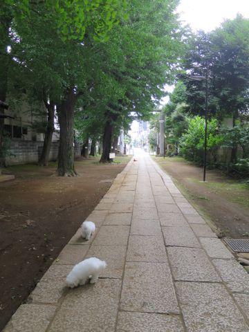 ビションフリーゼフントヒュッテビションフリーゼ子犬こいぬ父チャンピオン犬チャンピオン血統ビション子犬おんなのこ東京ビションフリーゼ画像性格かわいい_489.jpg