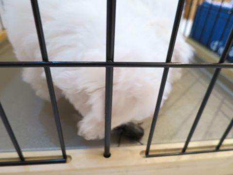 ビションフリーゼフントヒュッテビションフリーゼ子犬こいぬ父チャンピオン犬チャンピオン血統ビション子犬おんなのこ東京ビションフリーゼ画像性格かわいい_502.jpg