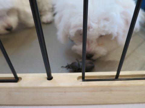 ビションフリーゼフントヒュッテビションフリーゼ子犬こいぬ父チャンピオン犬チャンピオン血統ビション子犬おんなのこ東京ビションフリーゼ画像性格かわいい_503.jpg