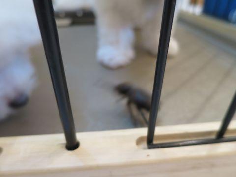 ビションフリーゼフントヒュッテビションフリーゼ子犬こいぬ父チャンピオン犬チャンピオン血統ビション子犬おんなのこ東京ビションフリーゼ画像性格かわいい_504.jpg