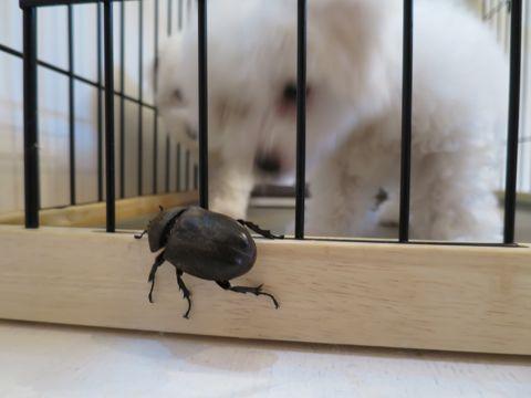 ビションフリーゼフントヒュッテビションフリーゼ子犬こいぬ父チャンピオン犬チャンピオン血統ビション子犬おんなのこ東京ビションフリーゼ画像性格かわいい_505.jpg