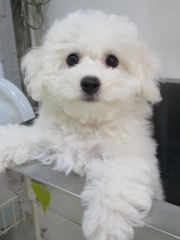 ビションフリーゼフントヒュッテビションフリーゼ子犬こいぬ父チャンピオン犬チャンピオン血統ビション子犬おんなのこ東京ビションフリーゼ画像性格かわいい_513.jpg