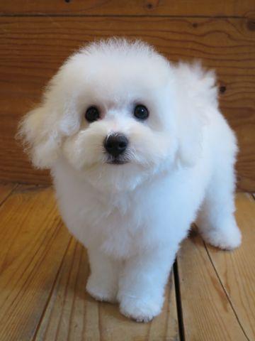 ビションフリーゼフントヒュッテビションフリーゼ子犬こいぬ父チャンピオン犬チャンピオン血統ビション子犬おんなのこ東京ビションフリーゼ画像性格かわいい_519.jpg