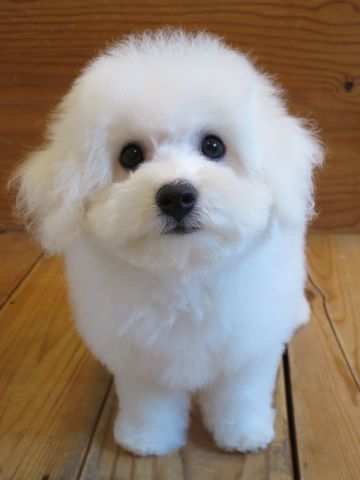 ビションフリーゼフントヒュッテビションフリーゼ子犬こいぬ父チャンピオン犬チャンピオン血統ビション子犬おんなのこ東京ビションフリーゼ画像性格かわいい_520.jpg