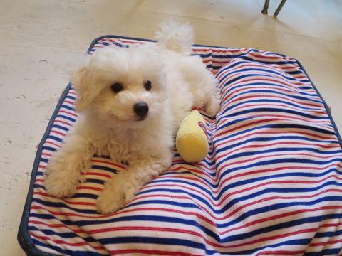 ビションフリーゼフントヒュッテビションフリーゼ子犬こいぬ父チャンピオン犬チャンピオン血統ビション子犬おんなのこ東京ビションフリーゼ画像性格かわいい_528.jpg