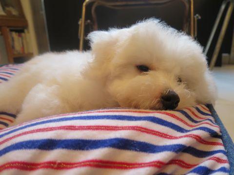 ビションフリーゼフントヒュッテビションフリーゼ子犬こいぬ父チャンピオン犬チャンピオン血統ビション子犬おんなのこ東京ビションフリーゼ画像性格かわいい_536.jpg