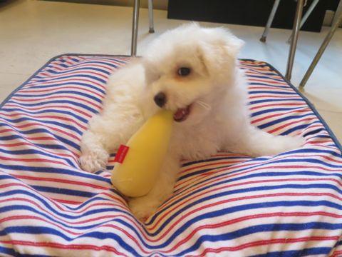 ビションフリーゼフントヒュッテビションフリーゼ子犬こいぬ父チャンピオン犬チャンピオン血統ビション子犬おんなのこ東京ビションフリーゼ画像性格かわいい_537.jpg